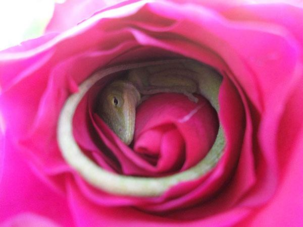 perierga.gr - Σαύρα κοιμάται μέσα σε τριαντάφυλλο!