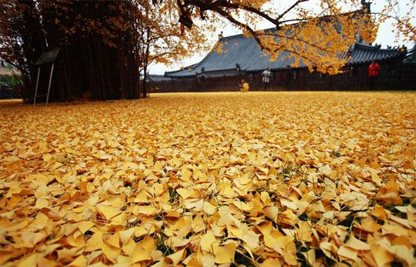 "perierga.gr - 1.400 ετών δέντρο δημιουργεί ""κίτρινο ωκεανό"" με τα φύλλα του!"