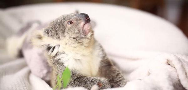 perierga.gr - Mωρό κοάλα στην πρώτη του... φωτογράφιση!