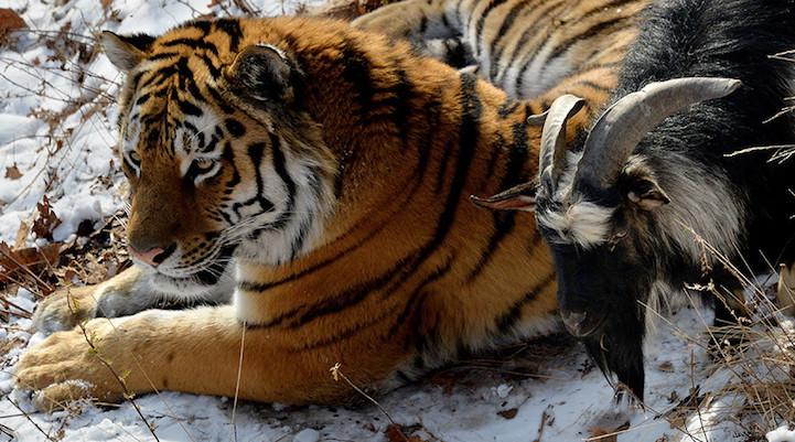 perierga.gr - Τίγρης έγινε... φίλη με κατσίκα που του... πέταξαν για φαγητό!