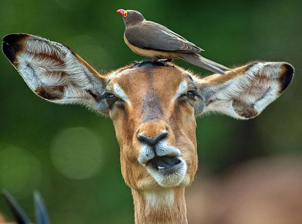 perierga.gr - Πτηνό προσφέρει υπηρεσίες περιποίησης σε... ιμπάλα!