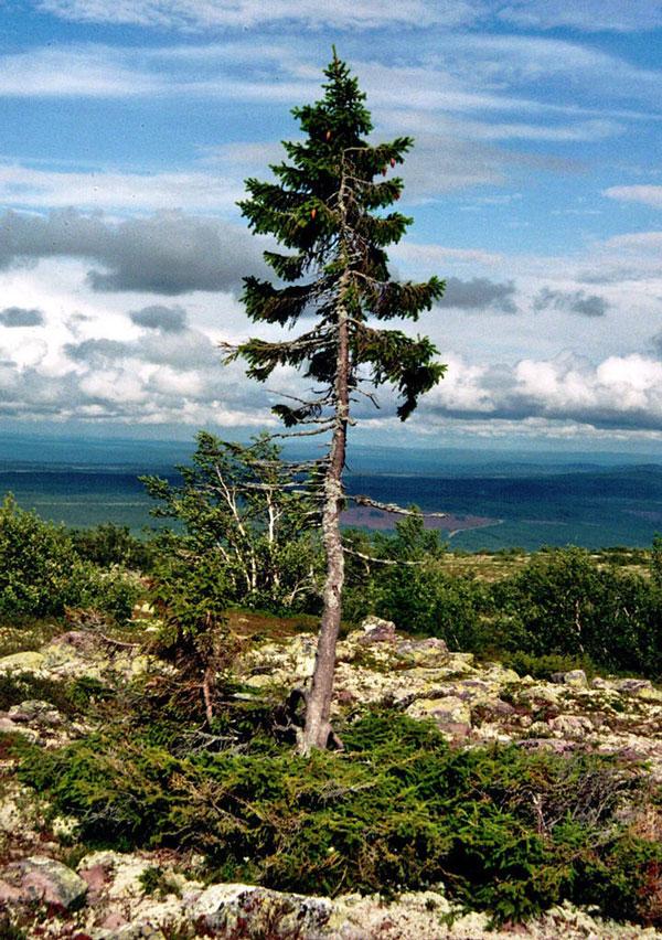 perierga.gr - To πλαιότερο δέντρο στον κόσμο έχει ηλικία 9.550 έτη!