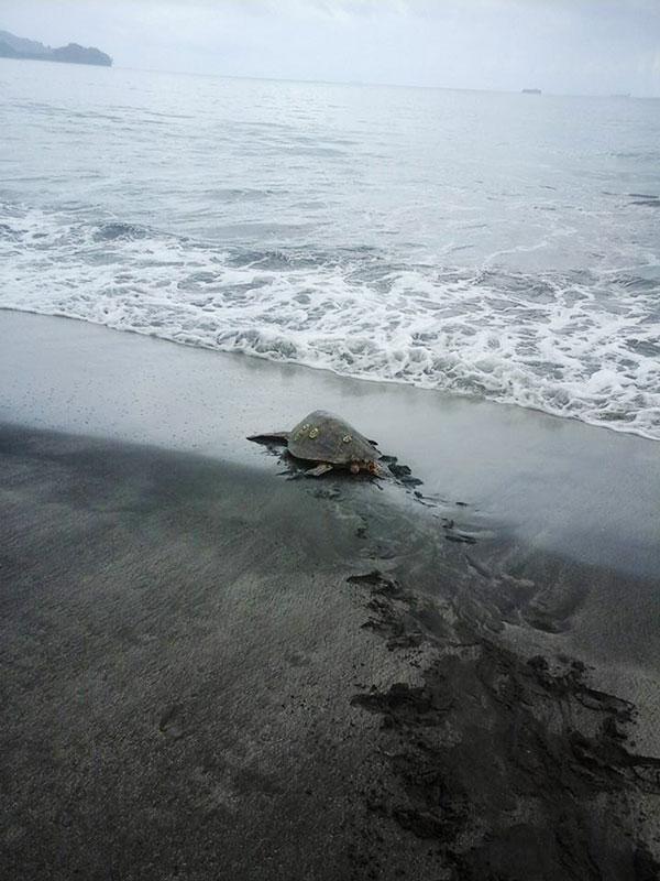 perierga.gr - Aγοράζει χελώνες και τις... απελευθερώνει στον ωκεανό!