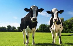 perierga.gr - Πού κοιτάζουν οι αγελάδες την ώρα που βόσκουν;