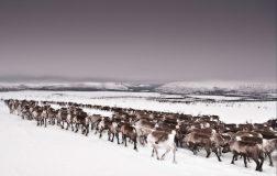perierga.gr - Η μαγευτική μετανάστευση των ταράνδων!