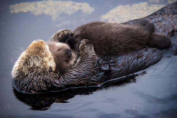 perierga.gr - Mωρό βίδρα κοιμάται αγκαλιά με τη μαμά του!