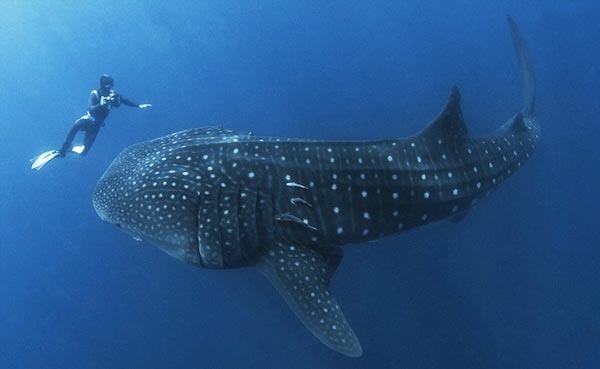 perierga.gr - Φαλαινοκαρχαρίας «συνεργάζεται» με δύτη για τη διάσωσή του!