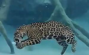 perierga.gr - Τζάγκουαρ κολυμπά υποβρυχίως!