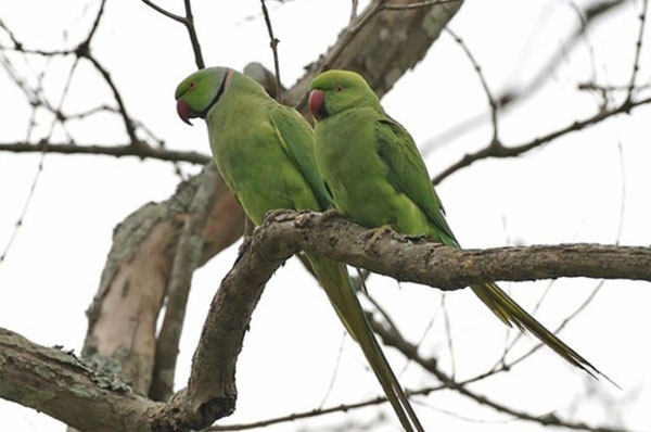 perierga.gr - Η Αθήνα γέμισε πράσινα παπαγαλάκια!