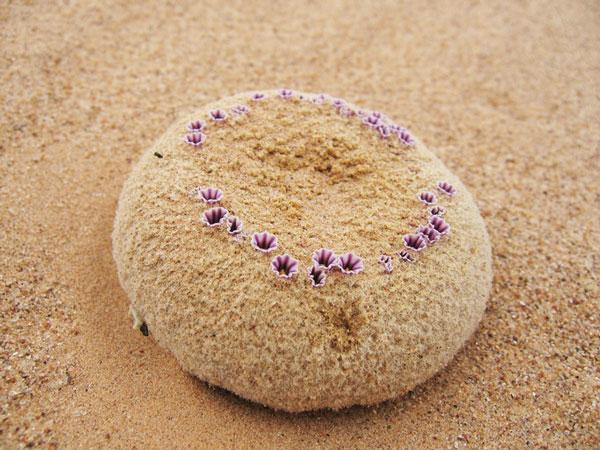 perierga.gr - Παράξενα αγριολούλουδα σαν μπάλες άμμου!