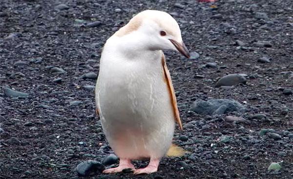 perierga.gr - Σπάνιος... ξανθός πιγκουίνος!