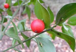 perierga.gr - Φυτό αναπτύσσει τους καρπούς στα φύλλα του!