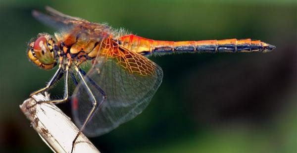 perierga.gr - Η λιβελούλη διανύει τις μεγαλύτερες αποστάσεις στη Γη!