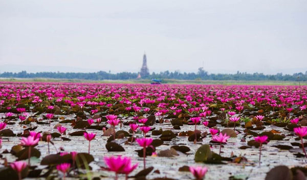 perierga.gr - Η υπέροχη λίμνη των λωτών στην Ταϊλάνδη!