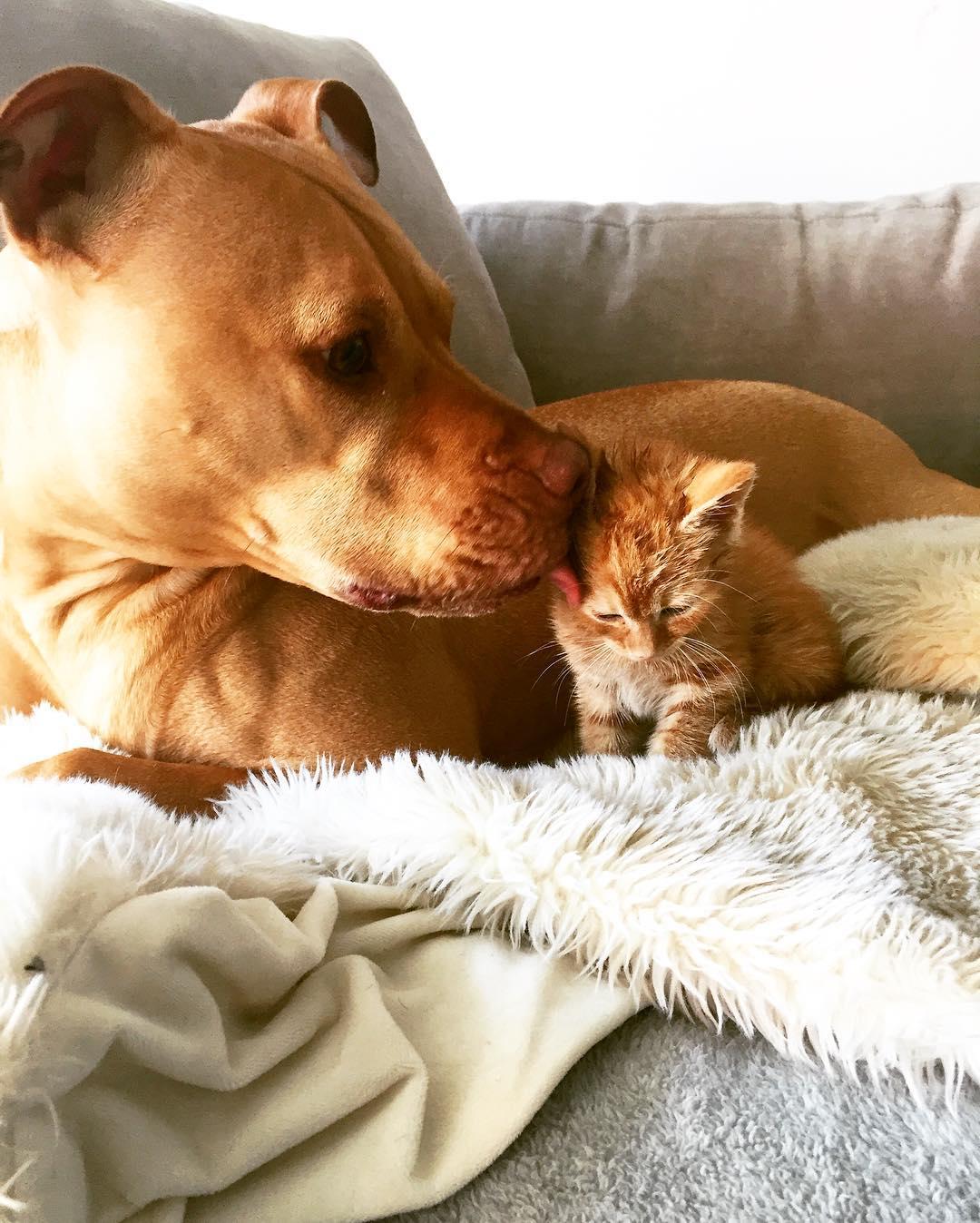 perierga.gr - Πίτμπουλ υιοθετεί γατάκι!