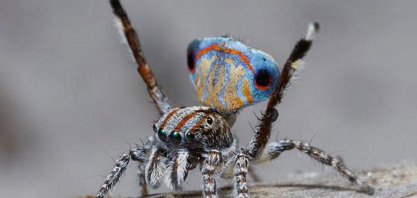 perierga.gr - Η αράχνη-παγώνι εκπλήσσει με την εμφάνισή της!