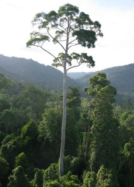 perierga.gr - Το ψηλότερο τροπικό δέντρο της Γης!