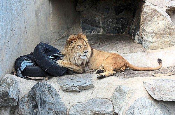 perierga.gr - Τα λιοντάρια... σχεδιάζουν τζιν!