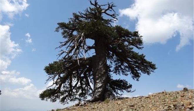 perierga.gr - Στην Πίνδο το γηραιότερο δέντρο της Ευρώπης!