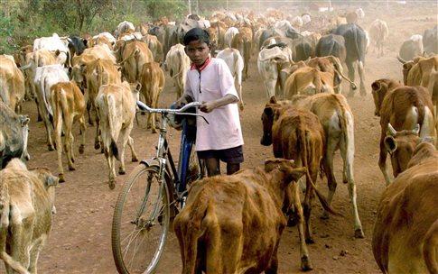 perierga.gr - Ινδία: Βάφουν τα κέρατα των αγελάδων φωσφοριζέ για να μειώσουν τα τροχαία!