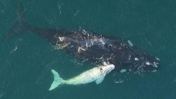 perierga.gr - Σπάνια λευκή φάλαινα εντοπίστηκε στην Αυστραλία!