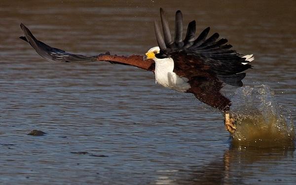 """perierga.gr - Αετός """"έκλεψε"""" ψάρι από το στόμα κροκόδειλου!"""