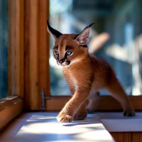 perierga.gr - Η πιο αξιαγάπητη γάτα στον κόσμο!
