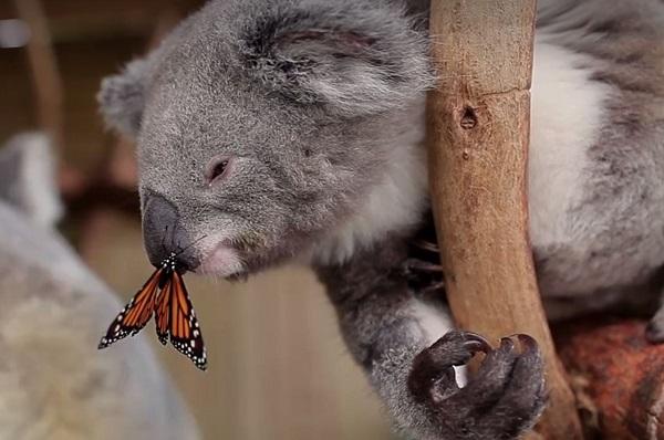 perierga.gr - Κοάλα... παίζει με πεταλούδα και είναι αξιολάτρευτο!