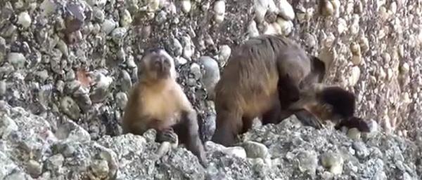 Perierga.gr-Οι μαϊμούδες έφτιαξαν πρώτες εργαλεία από πέτρες!