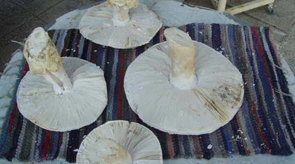 Perierga.gr-Μανιτάρι τεσσάρων κιλών βρέθηκε στην Πάφο