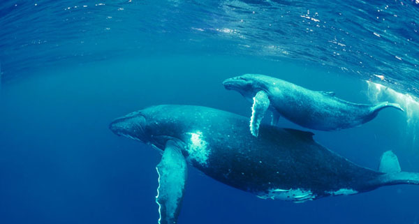 perierga.gr - Φάλαινα σώζει το παιδί της που πιάστηκε στα δίχτυα