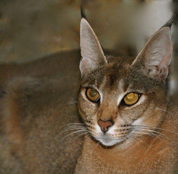 Perierga.gr-Η πιο σπάνια και ακριβή ράτσα γάτας στον κόσμο