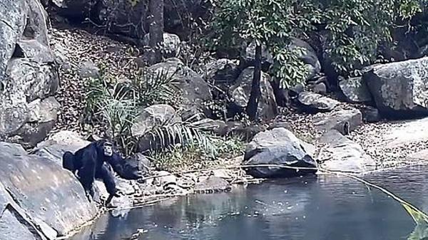 Perierga.gr-Επιστήμονες κατέγραψαν χιμπατζήδες να χρησιμοποιούν κλαδιά για ψάρεμα