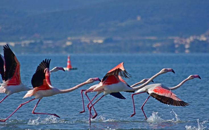 perierga.gr - Τα υπέροχα φλαμίνγκο του Ναυπλίου!