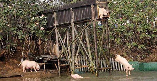 perierga.gr - Γουρούνια πηδάνε από ύψος στο νερό για να είναι... νοστιμότερα!