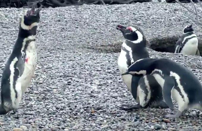 perierga.gr - Αιματηρή μάχη πιγκουίνων για τα μάτια μιας... γυναίκας!