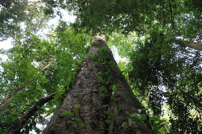 perierga.gr - Ανακαλύφθηκε το ψηλότερο δέντρο στην Αφρική!