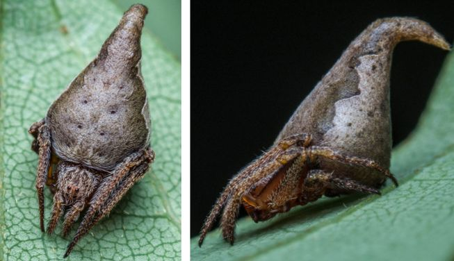 perierga.gr - Ανακαλύφθηκε αράχνη που μοιάζει με... το καπέλο του Χάρι Πότερ!