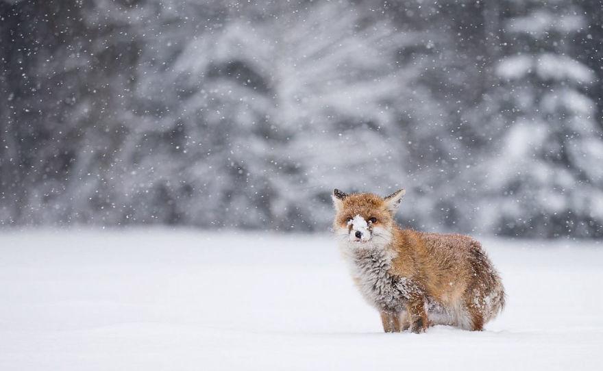 perierga.gr - Αλεπούδες στο χιόνι σε υπέροχες πόζες!