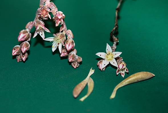 perierga.gr - Νέο και σπάνιο φυτό παίρνει το όνομα του Τζίμι Χέντριξ!