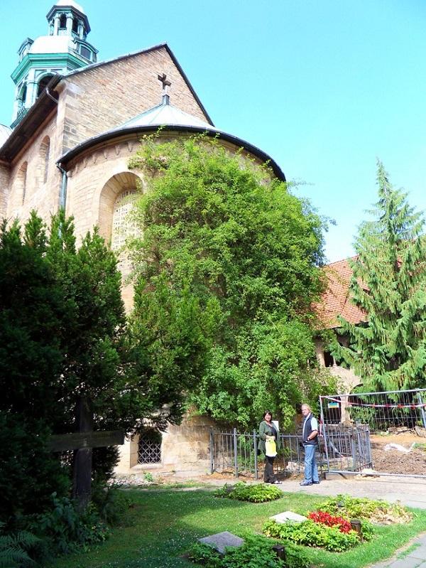 perierga.gr - Μια τριανταφυλλιά 1.000 ετών!