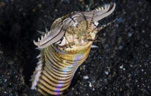 perierga.gr - Τρομακτικό σκουλήκι της θάλασσας εν δράσει!