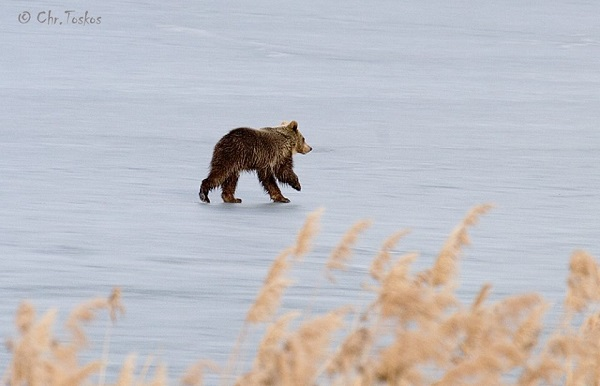 perierga.gr - Αρκουδάκι κάνει βόλτα στην παγωμένη λίμνη της Καστοριάς