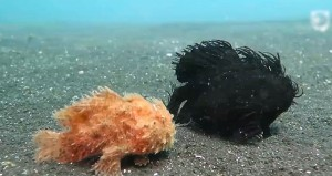 perierga.gr - Παράξενα ψάρια περπατάνε στο βυθό!