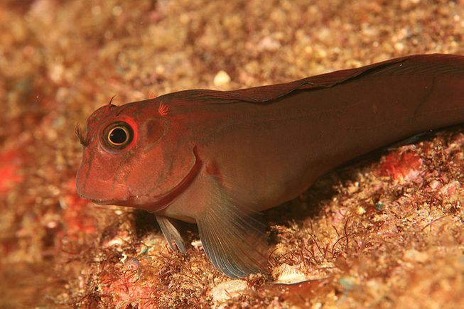 perierga.gr - Ψάρια είναι στη διαδικασια εξέλιξης σε χερσαία ζώα!