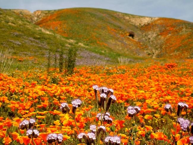 perierga.gr - Σπάνια ανθοφορία σε έρημο της Καλιφόρνια!