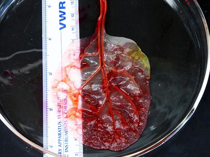 perierga.gr - Aνθρώπινος ιστός καρδιάς από ένα φύλλο σπανάκι!