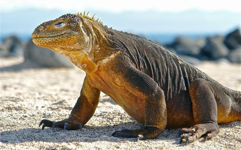 Perierga.gr - Ο Δράκος του Κομόντο υπό εξαφάνιση