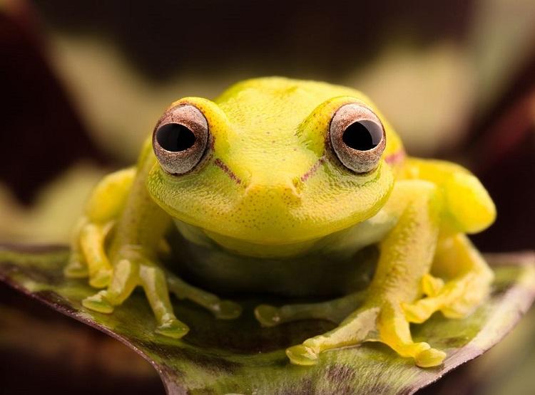 perierga.gr - Βάτραχος της Ν. Αμερικής αλλάζει χρώμα στο σκοτάδι!