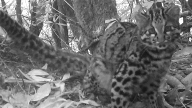 perierga.gr - Στα δάση της Κίνας κρύβεται μία από τις πιο σπάνιες γάτες στον κόσμο!